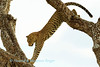 Leopard (Panthera pardus), leaps from one branch to another. of a tree along the Seronera river, Serengeti National Park,  Tanzania