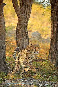 At Urikaruus waterhole, Kgalagadi Transfrontier Park, in South Africa cheetah cubs enjoyed a merry chase.