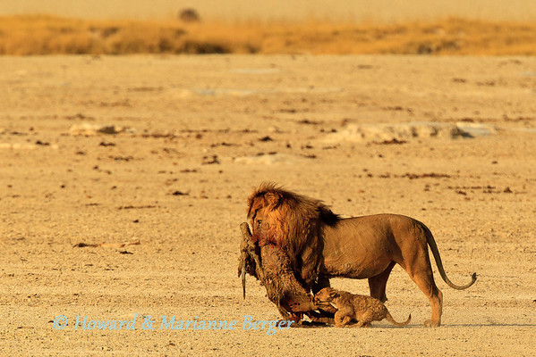 At Okondeka waterhole (Etosha, Namibia) the massive lion (Panthera leo) had very aggressively snatched the drowned juvenile gemsbok (Oryx gazella) away from two lionesses, who had battled to drag it out of the mud, and marched away. Undaunted the determined cub grabbed at the leg to obtain a share. He held on for dear life as he was dragged along