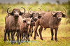 Cape buffalo (Syncerus caffer caffer) herd at watering hole  near Punda Maria Camp,Kruger National Park, South Africa.