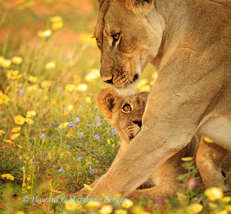 In the dunes next to the Auob river bed in the Kgalagadi Transfrontier Park a lion pride was lying in a colourful bed of summer flowers. This cub followed his mother intently