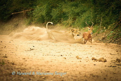 Lioness (Panthera leo) was too quick for the impala (Aepyceros melampus) in the soft dry sand of the  river bed (Shingwedzi, Kruger National Park, South Africa)