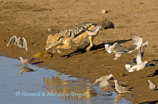 A blackbacked jackal  (Canis mesomelas) attempts to catch a cape turtle dove (Streptopelia capicola).(Chudop waterhole, Etosha National Park, South Africa.)