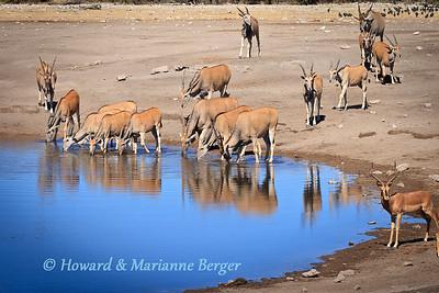 eland (Taurotragus oryx), herd drink at Chudop waterhole, Etosha, Namibia