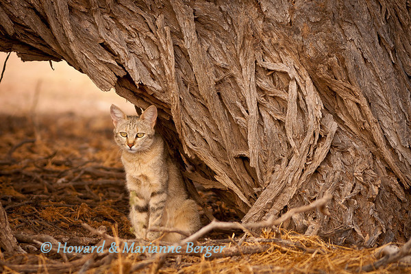 African wildcat Felis lybica, tests under doringboom along the dry Auob river bed Kgalagadi Transfrontier Park, South Africa,