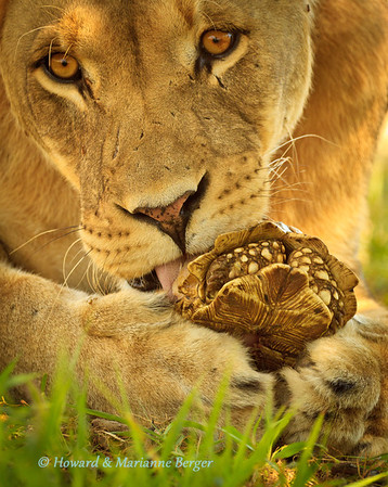 "in Kgalagadi Transfrontier Park,  South Africa, this unlucky Leopard tortoise (Stigmochelys pardalis) ""covers his eyes in horror"" as a  lioness  (Panthera leo), begins to chip open his beautiful shell"