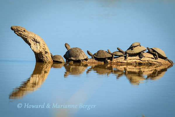 Hinged Terrapin (Pelusios subniger), appear to be hitching a ferry ride on the back of a prehistoric ancestor as they line up on the back of this twisted and gnarled piece of driftwood. Kruger National Park, South Africa