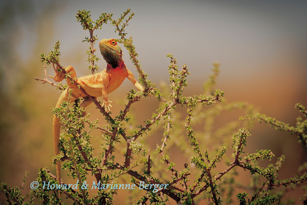 In the Nossob river a Ground Agama (Agama aculeata),  has climbed into a Driedoring shrub (Rhigozum trichotomum) and serenely surveys the  Kgalagadi Transfrontier Park. (South Africa)