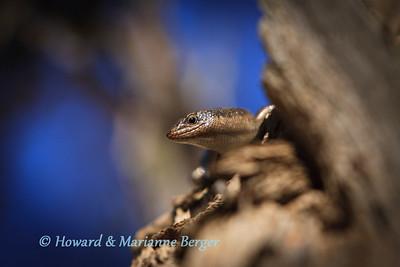 Karasburg Tree Skink (Trachylepis sparsa), sunbathes along the dry Nossob river ,Kgalagadi Transfrontier park, South Africa