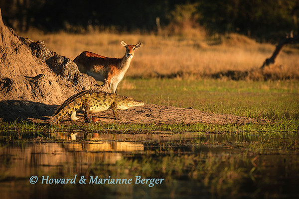 Red Lechwe  (Kobus l. leche), watches intently as the Nile crocodile (Crocodylus niloticus) emerges from the quite waters of a pool near Xakanaxa camp, Moremi National Park, Botswana,