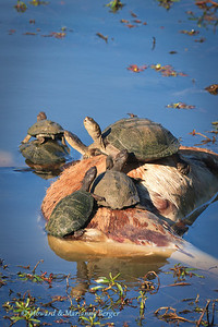 The terrapins  (Pelusios subniger) rest on the remains of an impala rotting in a water hole along the H2-2 road in the Kruger National Park, South Africa