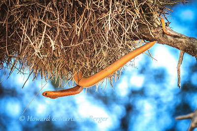 Cape cobra (Naja nivea) raids a large  Social Weaver bird (Philetairus socius) nest,  along the dry Auob river bed, Kagalagadi Transfrontier Park, South Africa