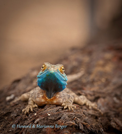A Ground Agama (Agama aculeata), poses patiently for his portrait in Polentswa camp, Kgalagadi Transfrontier Park, South Africa