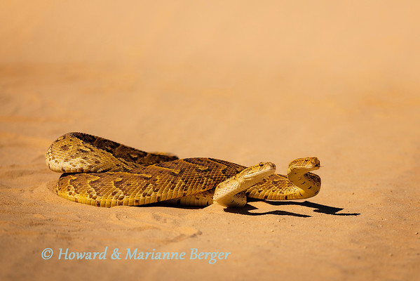 These puff adders (Bitis arietans) were mating in the road near Mata Mata in the Kgalagadi and concentrated on their task