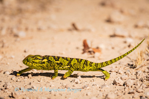 Common chameleon (Chamaeleo chamaeleon), crosses the road near  Halali camp, Etosha National Park, Namibia
