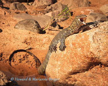 Crossing a causeway we were greeted by this Nile monitor (Varanus niloticus) cooling off in his pool. Kruger National Park, South Africa