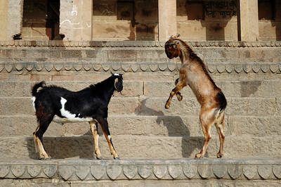 Varanasi, India Wild goats and dogs are a very common sight along ghats of the ganges river.