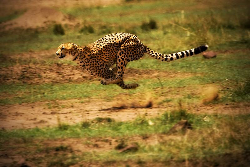 Leopard in Flight, Chasing a gazelle. Masai Mara Wildlife Game Park, Kenya
