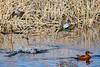 Blue-winged Teals (flying) & Cinnamon Teal (swimming)