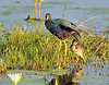 Purple Gallinules