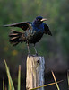 Boat--tailed Grackle