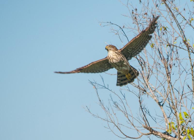 Cooper's Hawk (Immature)