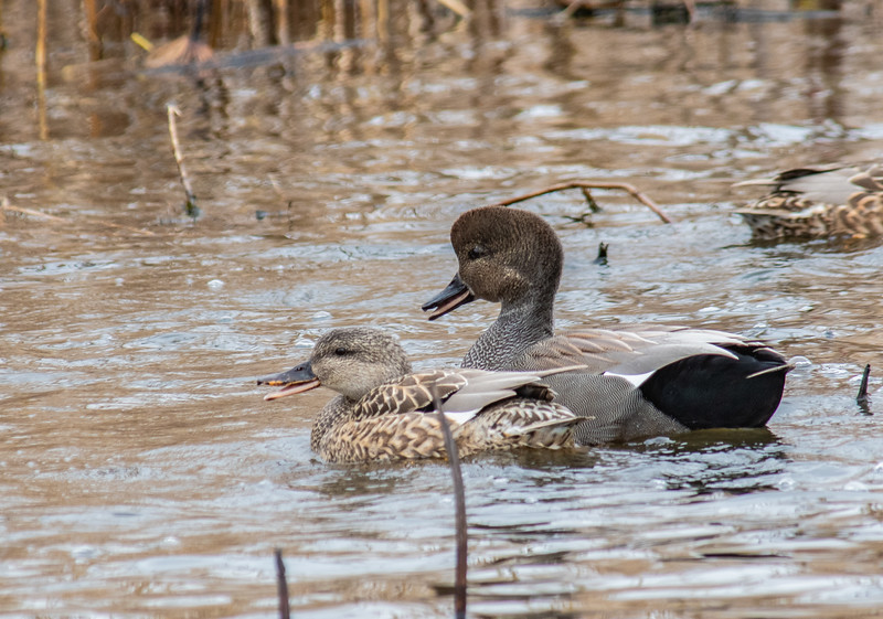 Gadwalls (Male and Female)