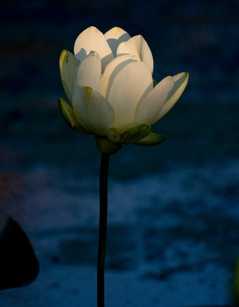 Yellow Lotus Blossom