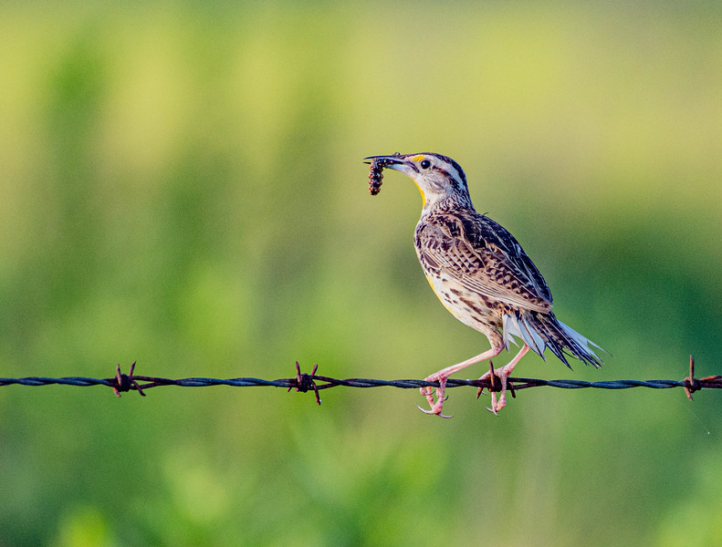 Eastern Meadowlark