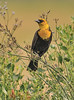 Yellow-headed Blackbird (Male)