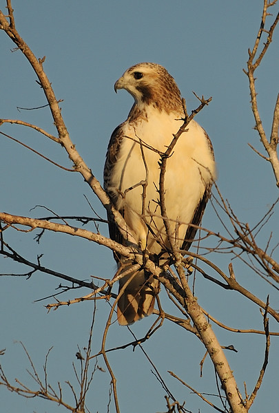 Red-tailed Hawik