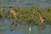 Purple Gallinules (Juveniles)