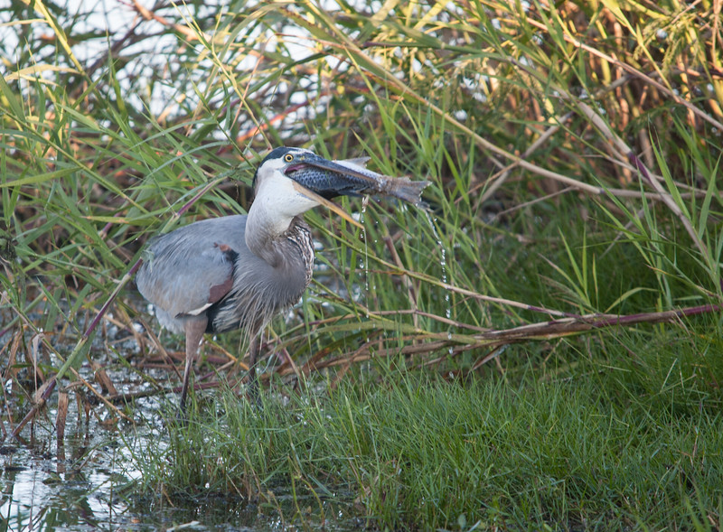 Great Blue Heron trying to swallow a large Mullet.