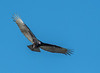 Turkey Vulture (Immature)
