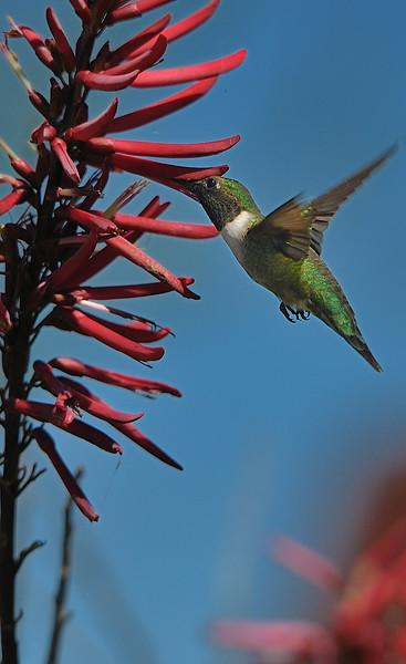 Ruby-throated Hummingbird feeding on a Coral Bean Plant