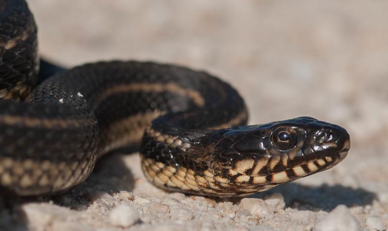 Gulf Salt Marsh Snake