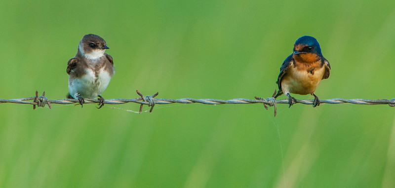 Bank Swallow (L)  Barn Swallow (R)