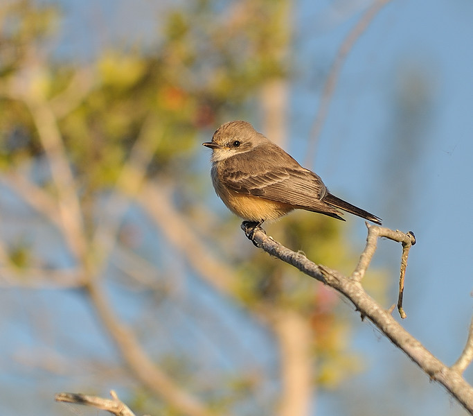 Vermilion Flycatcher (Female)