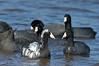 American Coots (one has Pied Plumage)