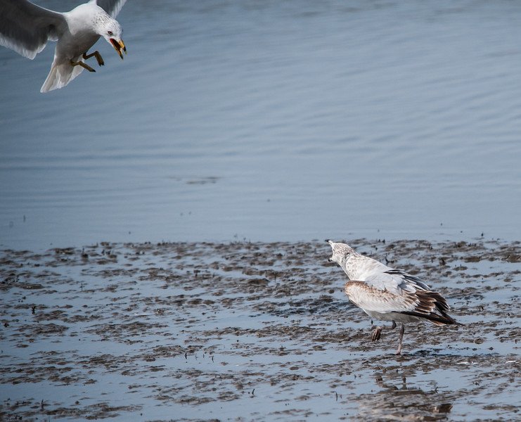Immature Ring-billed Gull warning an adult to stay away from the dead fish.
