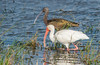 White Ibis (Foreground) White-faced Ibis (Background)
