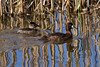 Ruddy Duck (L) and Lesser Scaup (Female on right)