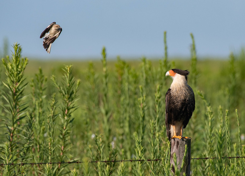 Crested Caracara being harassed by a  Northern Mockingbird