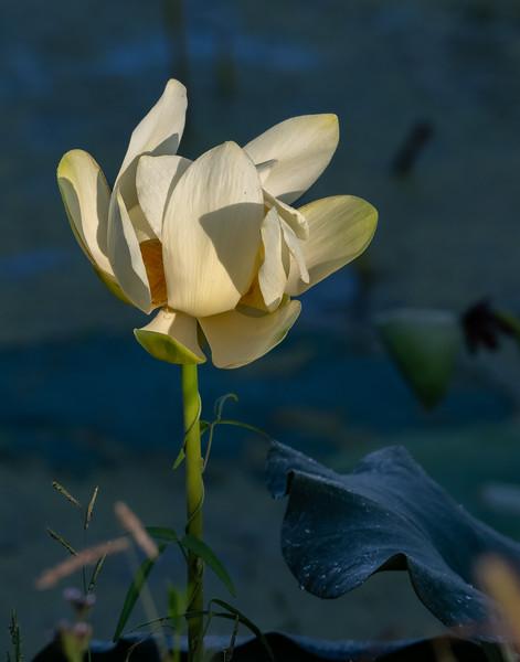Yellow Lotus Blossom