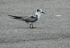 Black Tern (non-breeding plumage)