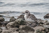Black-bellied Plover (Winter Plumage)
