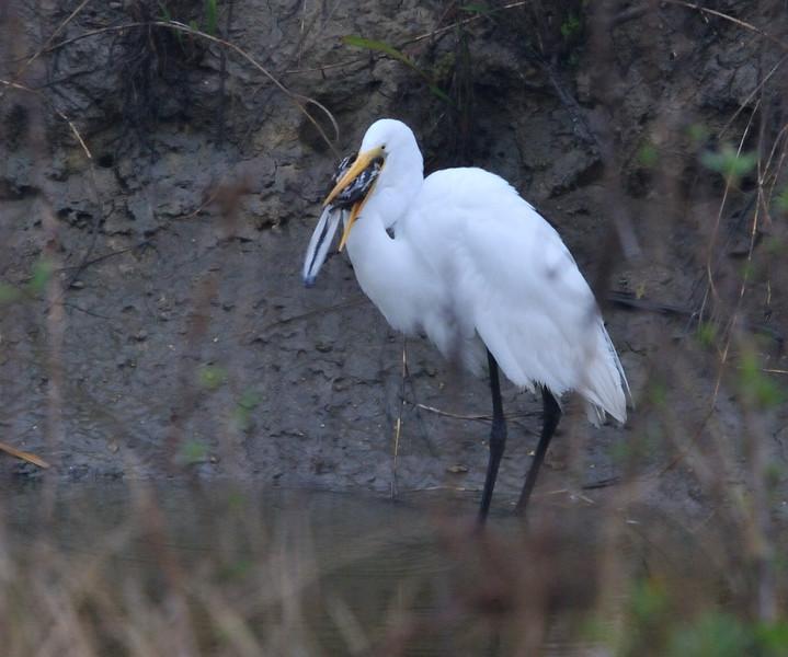 Great Egret eating a Northern Mockingbird