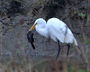 Great Egret eating a Northern Mockingbird