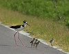 Black-necked Stilt Family