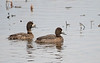 Lesser Scaups (Females)